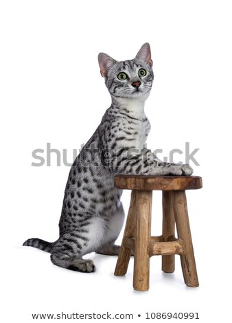 Cute silver spotted Egyptian Mau cat kitten sitting with front pawson a little wooden stool Stock photo © CatchyImages