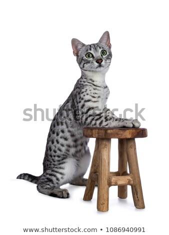 bonitinho · egípcio · pequeno · gatinho · prata · naturalmente - foto stock © catchyimages