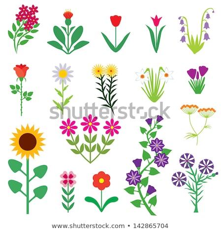 Diferente cores manhã glória flores ilustração Foto stock © colematt