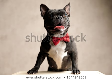 french bulldog with red bowtie standing Stock photo © feedough