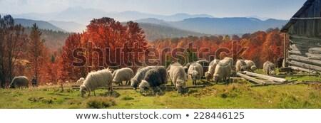 fehér · birka · zöld · gyep · sétál · farm - stock fotó © taviphoto