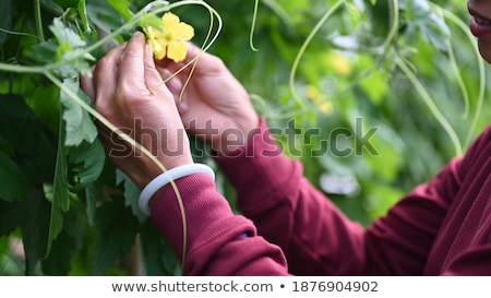 Melon planting in field, farmer touching plant Stock photo © simazoran