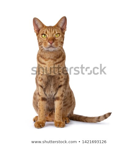 Cinnamon young adult Ocicat on white Stock photo © CatchyImages