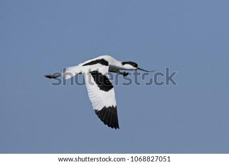 Pied avocets Stock photo © ivonnewierink