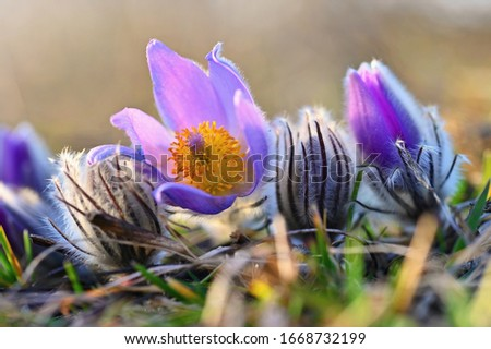 pasque flower stock photo © samsem
