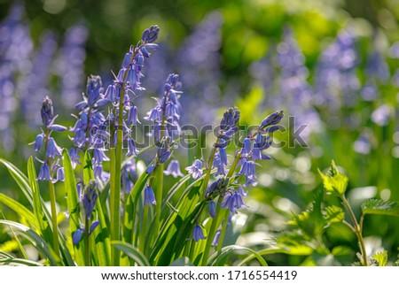 legno · perenne · cresciuto · blu · fiori · presto - foto d'archivio © zhekos