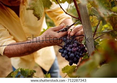 Happy vintner harvesting grapes in vineyard Stock photo © wavebreak_media