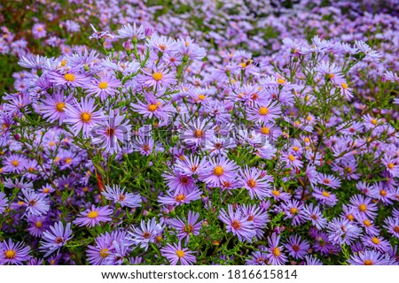 Aster Stock photo © chris2766