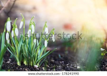 Fehér tavaszi virágok virágok tavasz fű nap Stock fotó © vapi