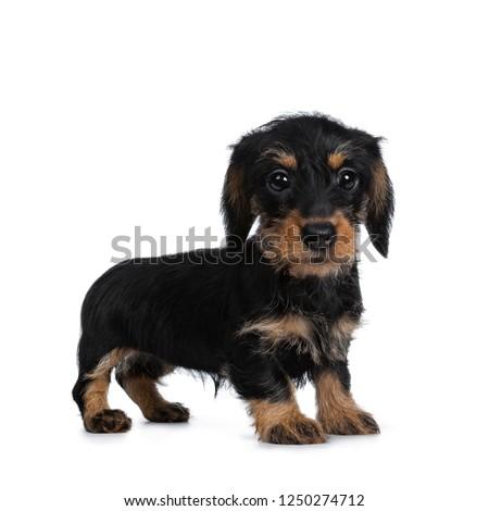 Stockfoto: Super · cute · klein · teckel · naar · groot