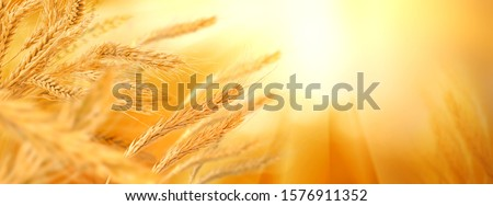 spikelets of wheat in the field Stock photo © ruslanshramko