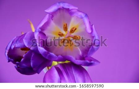 Rosa violeta tulipas flores azul Foto stock © neirfy