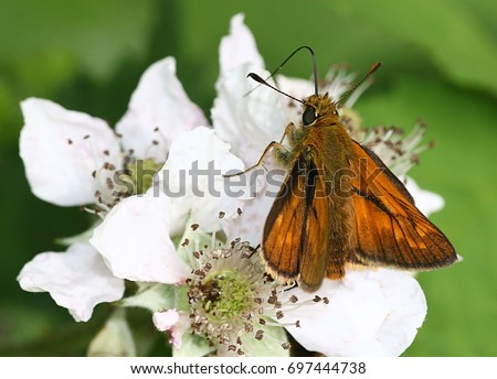 Large skipper (Ochlodes sylvanus) Stock photo © Rosemarie_Kappler