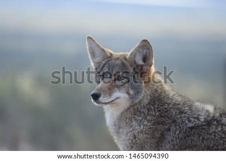 coyote canis latrans stock photo © dirkr
