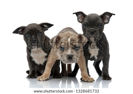 3 American bully dogs sitting and standing together looking curi Stock photo © feedough