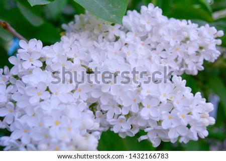 orgona · virágzó · szín · növény · fehér · ág - stock fotó © tarczas
