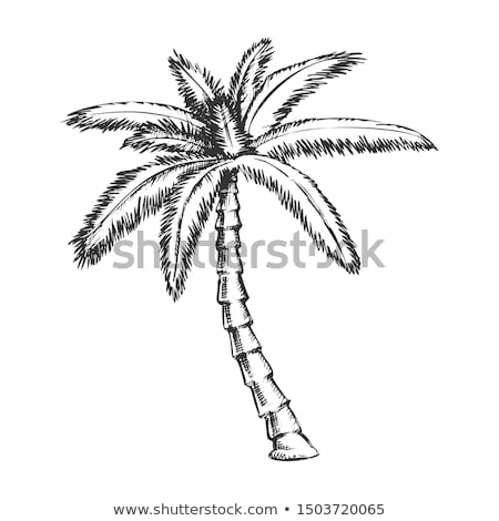 Ribbon Fan Palm Tropical Tree Monochrome Vector Stock photo © pikepicture