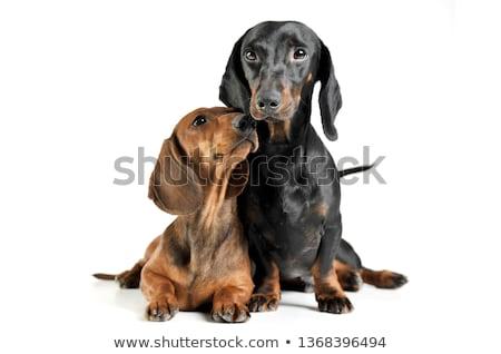 Stockfoto: Twee · aanbiddelijk · teckel · vergadering · zwarte
