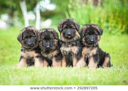 Yakın portre çok güzel çoban köpek yalıtılmış Stok fotoğraf © vauvau