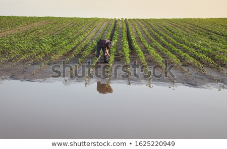Farmer and damaged sunflower field after flood Stock photo © simazoran