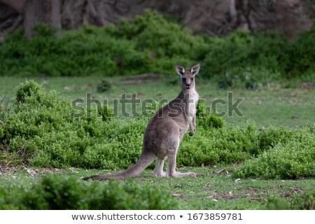 Kenguru zöld bokor föld zafír part Stock fotó © lovleah