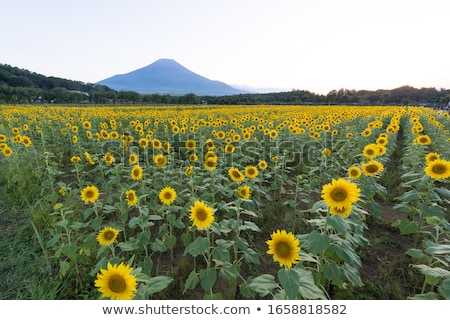 mount fuji with sunflowers stock photo © craig
