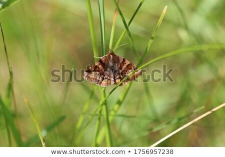 Moth on grass Stock photo © suerob