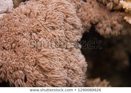 Feathery xenid (anthelia glauca) Stock photo © stephankerkhofs