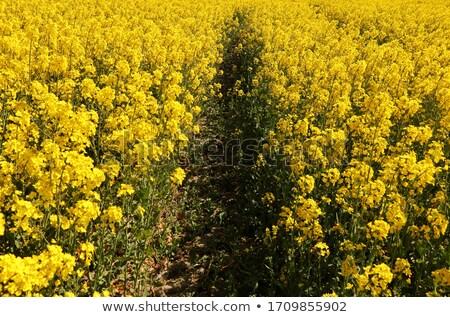 17 campo amarillo pétalo Foto stock © LianeM