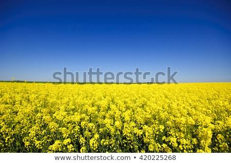Rape field, canola crops  Stock photo © yoshiyayo