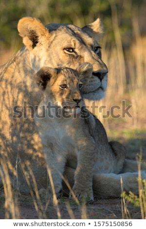 Afrikai oroszlán Serengeti természet utazás szőr Stock fotó © ajlber