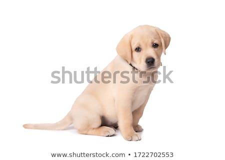 triste · peu · labrador · retriever · chiot · chien · regarder - photo stock © feedough