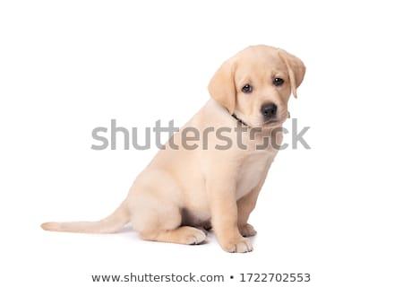 Szomorú kicsi labrador retriever kutyakölyök kutya néz Stock fotó © feedough