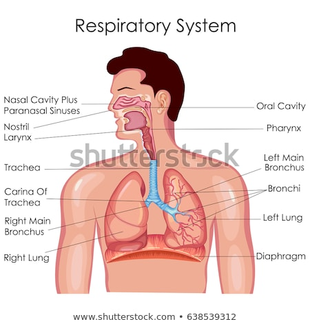 human sinus and respiratory system stock photo © lightsource