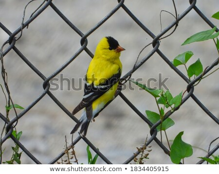 American Goldfinch Perched on a Chain Stock photo © rhamm