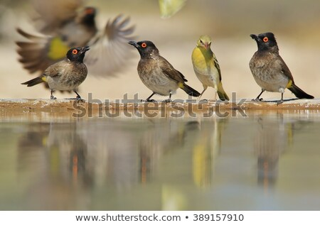 Red-eye Bulbul - Color and plumage from the wild and free in Africa. Stock photo © Livingwild