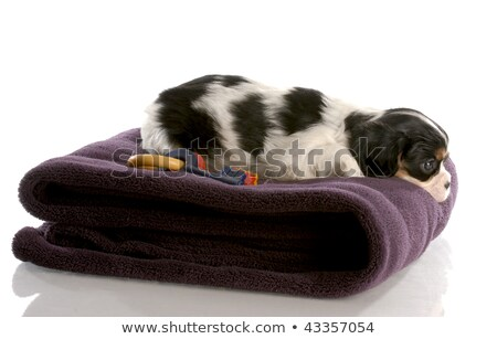 tri color cavalier king charles puppy on fuzzy blanket   six weeks old stock photo © willeecole