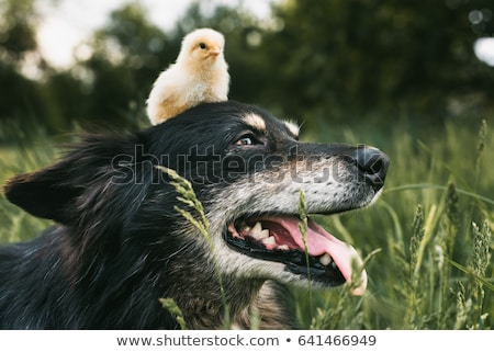 Stock fotó: Kutyakölyök · baba · csirke · imádnivaló · angol · bulldog