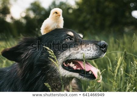 kutyakölyök · baba · csirke · imádnivaló · angol · bulldog - stock fotó © willeecole