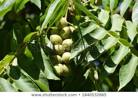 молодые дерево весны лист фрукты Сток-фото © Virgin