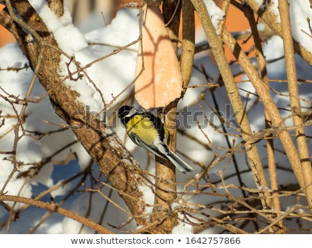 parus major feeding on lard Stock photo © taviphoto