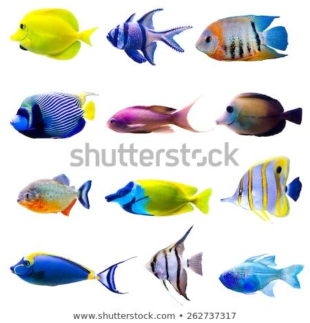Trópusi halfajok citromsárga kék mély tenger Stock fotó © anbuch