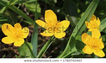 pollen on water and kingcup flowers stock photo © mps197