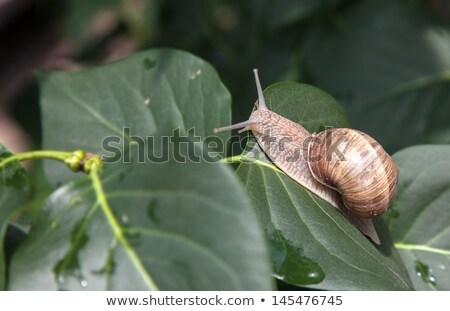 snail basks on a branch close up  Stock photo © OleksandrO