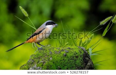 madár · fiskális · felső · fa · szemek · zöld - stock fotó © bdspn