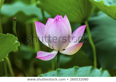 pink lotus flower lily pads garden beijing china stock photo © billperry