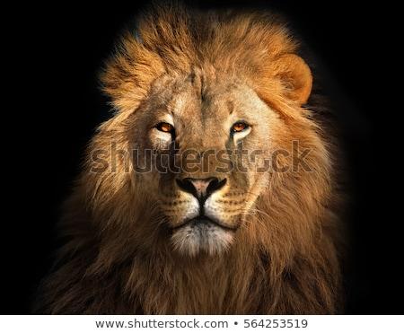 Ritratto maschio leone up vicino giovani Foto d'archivio © JFJacobsz