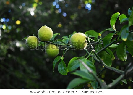 Trifoliate orange (Poncirus trifoliata) Stock photo © rbiedermann