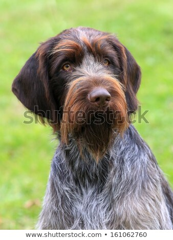 Portret boheems wijzend hond tuin triest Stockfoto © CaptureLight
