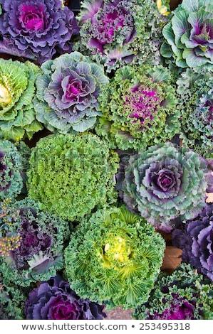 köteg · káposzta · zöld · lila · farm · áll - stock fotó © klinker